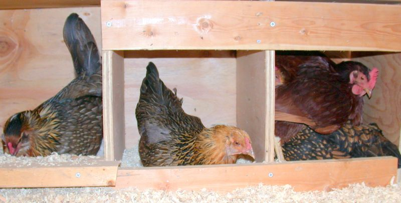 Chickens in box