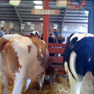 Happy Cows at the County Fair