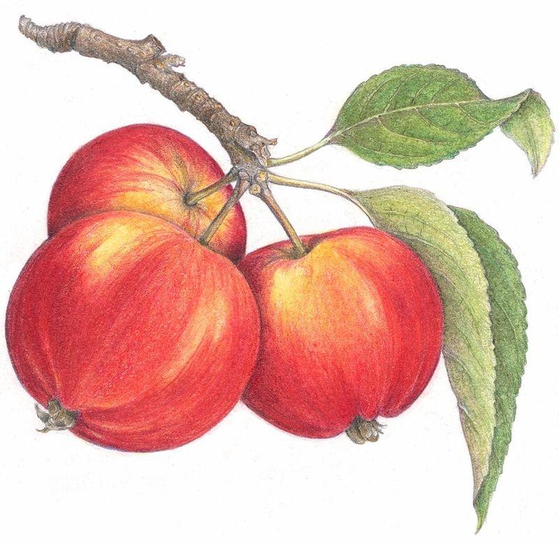 Irvine-apple-tight-crop